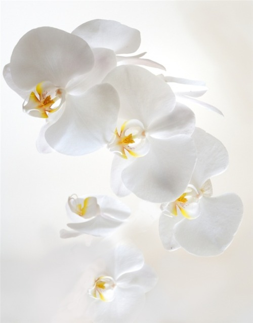 White Orchids by Bill Mangold